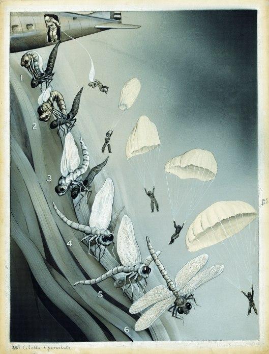 Die Entfaltung der Insektenflügel (The unfolding of insect wings) Das Buch der Natur II, Albert Müller, Rüschlikon/Zurich 1952, p. 100. Copyright: © Fritz Kahn/TASCHEN